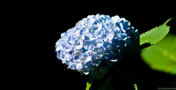 500px Photo ID: 1387095 - blue ortensia (HYDRANGEA)