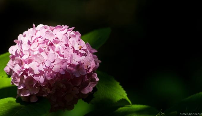 500px Photo ID: 1387132 - pink ortensia (HYDRANGEA)